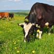 Cows on a summer pasture — Stock Photo #9879471