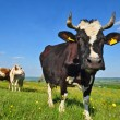 Cows on a summer pasture — Stock Photo #9879526