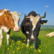 Cows on a summer pasture — Stock Photo #9879542