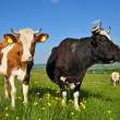 Cows on a summer pasture — Stock Photo #9879555