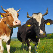 Cows on a summer pasture — Stock Photo #9879569