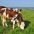 Cows on a summer pasture — Stock Photo #9879580