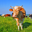 Cows on a summer pasture — Stock Photo #9879588