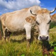 Cow on a summer mountain pasture — Stock Photo
