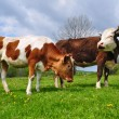 The calf near mother on a summer pasture — Stock Photo #9923493