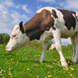 The calf on a summer pasture - Stock Photo