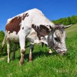 Cow on a summer pasture — Foto de Stock