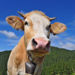 The calf on a summer mountain pasture - Stock Photo