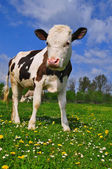 The calf on a summer pasture — Stockfoto