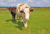 Cows on a summer pasture. — Stock Photo