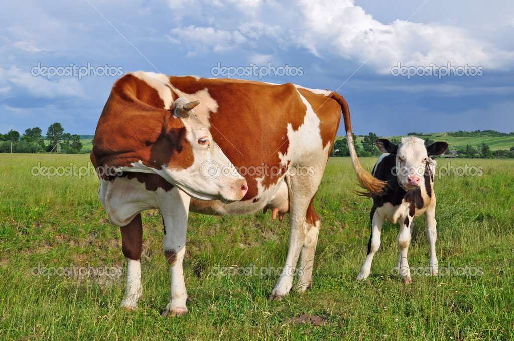 The calf near mother on a pasture in a summer rural landscape — Stock Photo #9923752