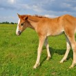 Foal on a summer pasture. - Stock Photo