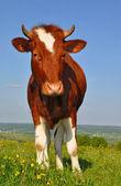 夏季牧场上小牛 — 图库照片