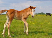 Foal on a summer pasture. — Stock Photo