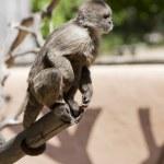 Capuchin monkey — Stock Photo #8223619