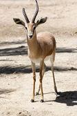 Gazelle — Stock Photo