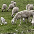 Stock Photo: Sheep farming