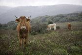 Sığırlar — Stok fotoğraf