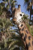 The giraffe — Stock Photo