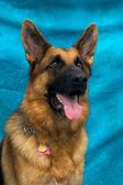 German Shepherd Dog Portrait — Stock Photo
