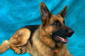 German Shepherd Dog laying down looking alert — Stock Photo