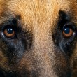 Close up of German Shepherd Dog eyes - Stock Photo