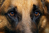 Close up of German Shepherd Dog eyes — Stock Photo