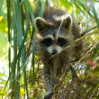 Stock Photo: Raccoon in tree looking down at viewer