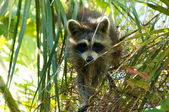 Raccoon in tree looking down at viewer — Stock Photo