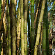 Patch of bamboo trees growing wild — Stock Photo
