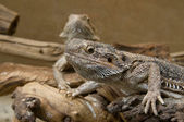 Couple of Central Bearded Dragon — Stock Photo