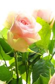 Bright pink roses — Stockfoto