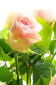 Roses roses vives — Photo