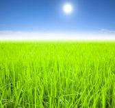 緑の水田、夏の朝 — ストック写真