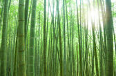 Green bamboo forest with sunlight — Stock Photo
