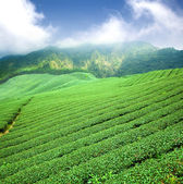 Green tea plantation with cloud in asia — Foto de Stock