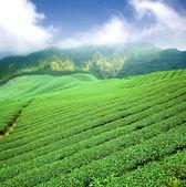 Plantação de chá verde com nuvem na ásia — Fotografia Stock