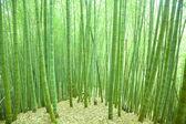 Floresta de bambu verde — Foto Stock