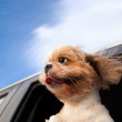 Dog in a Car Window and enjoy road trip — Stock Photo