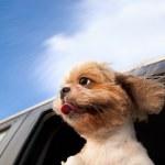 pes v okně auto a užijte si výlet — Stock fotografie