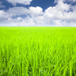 Rice field with cloud background at spring time — Stock Photo