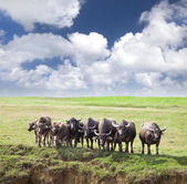 Group of cows on green meadow with cloudy — Stock Photo