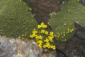 Flowers, mountain plants — Stock Photo