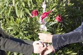 руки с розами — Стоковое фото
