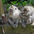 Macaques — Stock Photo