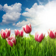 Grass and Pink Tulip's Flowers against blue sky and sun — Stock Photo