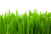 Fresh green wheat grass with drops dew / isolated on white with — Stock Photo