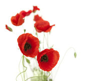 Natural Fresh Poppies isolated on white / focus on foreground — Stock Photo