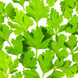 Stock Photo: Fresh Parsley close-up background / back-lit