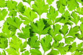 Fresh Parsley close-up background / back-lit — Stock Photo